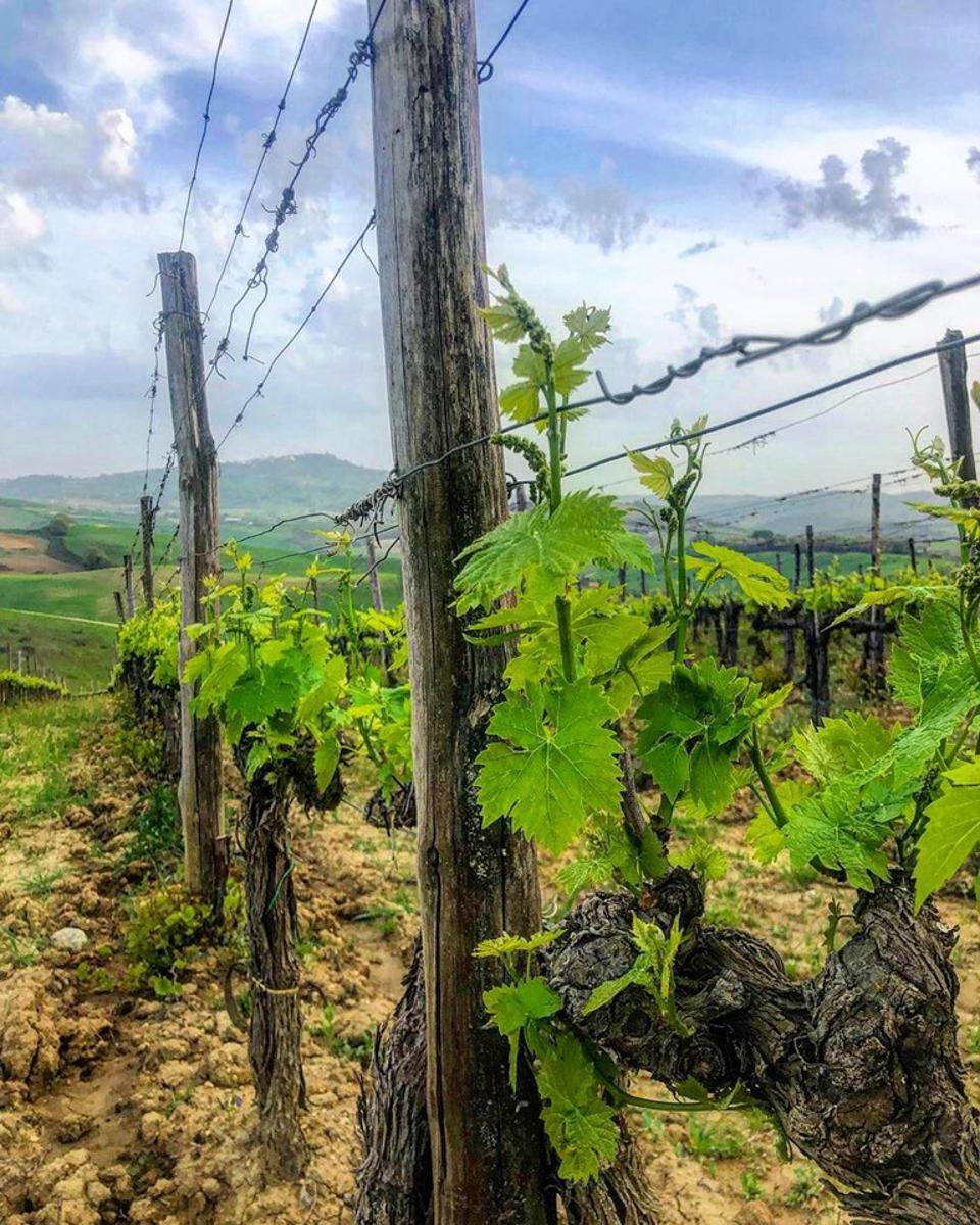 Altesino's Montosoli Vineyard