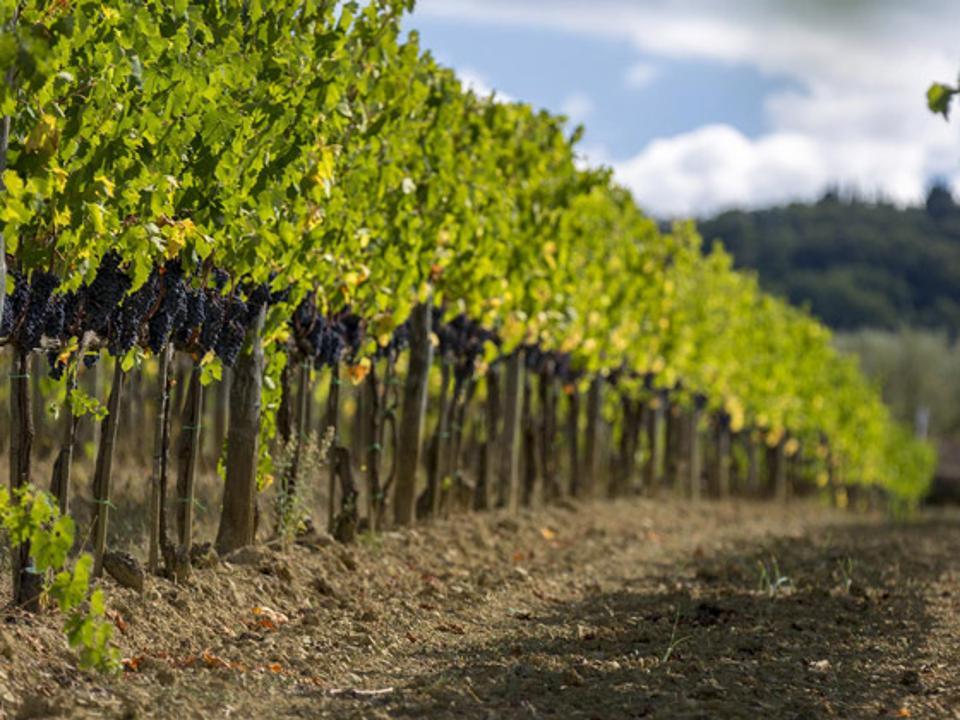 Canalicchio di Sopra's Casaccia Vineyard