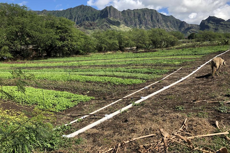 Kahumana Farms salad fields in Wai'anae, Hawai'i