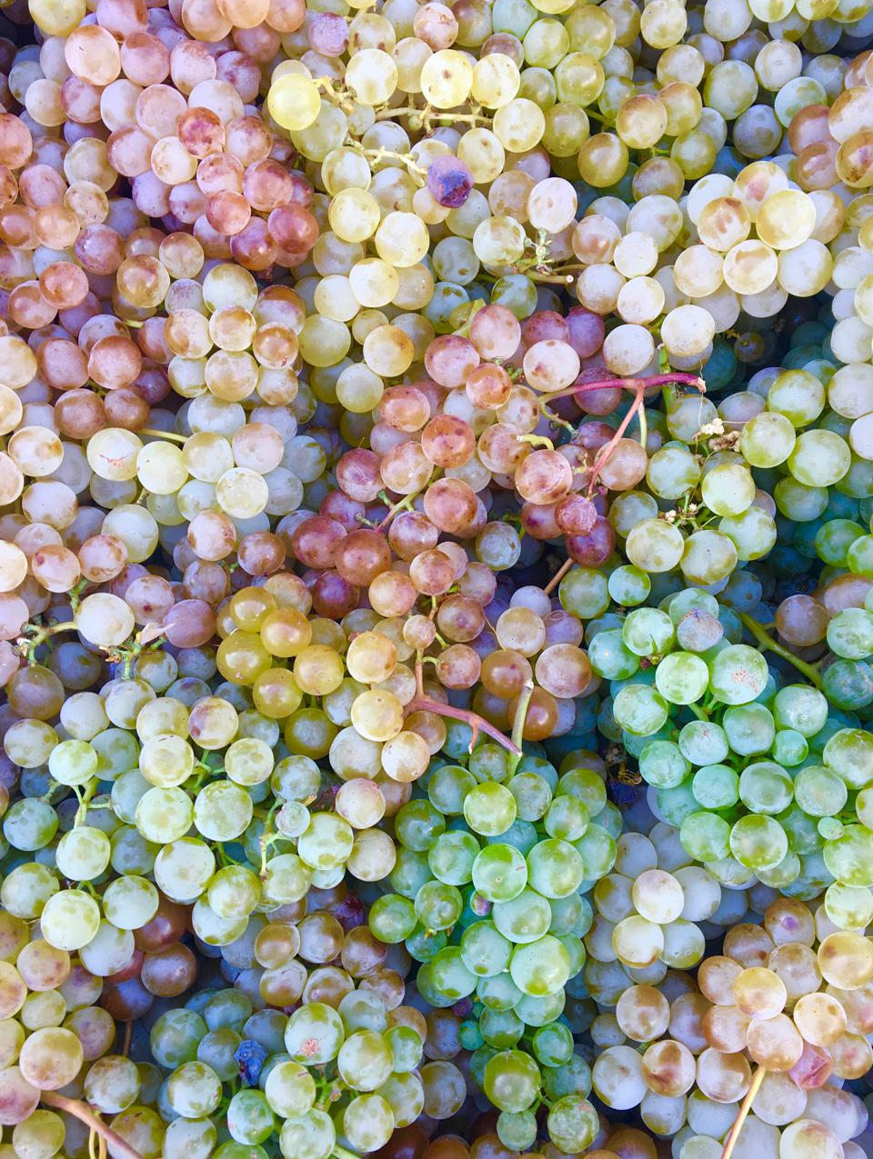Voskehat grapes at Old Bridge Wine Cellar