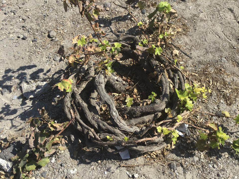 An ancient grape vine on Santorini. Each ring represents 10 years of growth