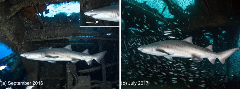 Female sand tiger shark observed on the wreck Aeolus.