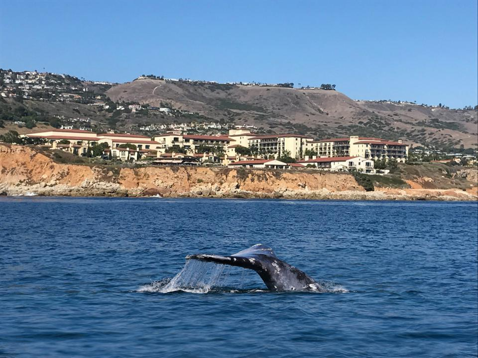 A whale off the resort's coast