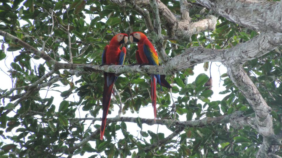 Two Macaws in the forest near Manoa, in Rondônia State, Brazil; one of Pachama's reforestation projects in South America.