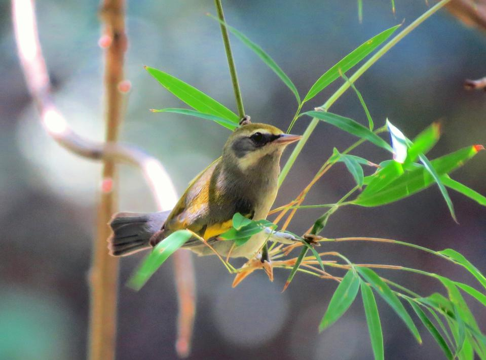 Golden_winged_Warbler_female2_by_Ruth_Bennett