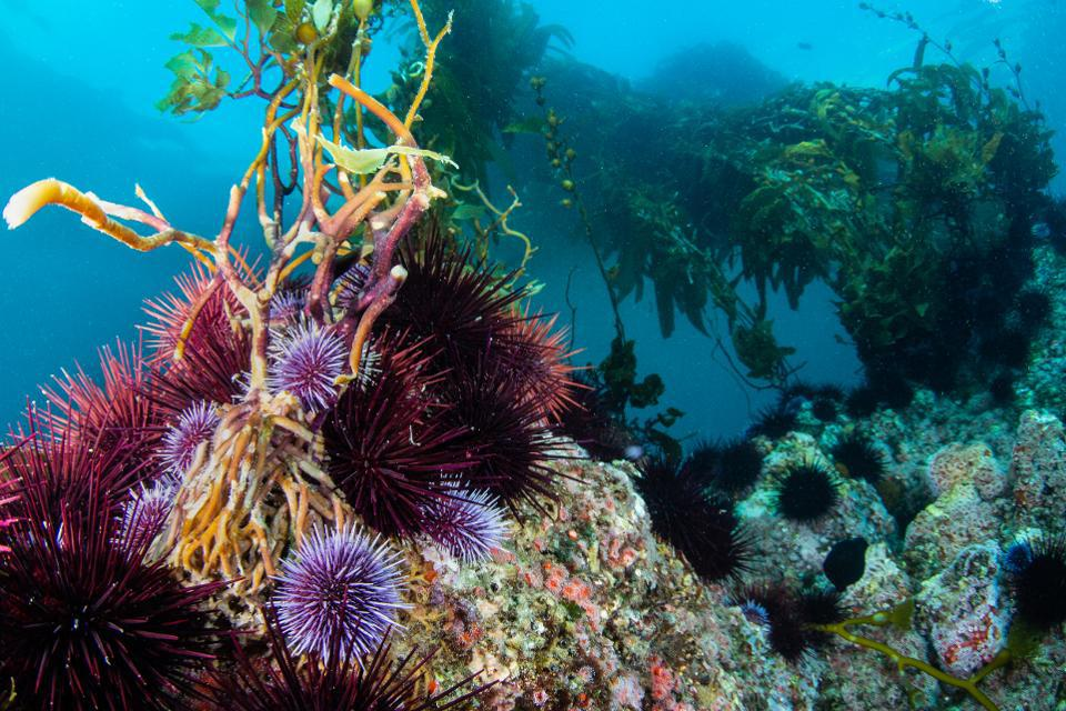 Sea lions and urchins on kelp