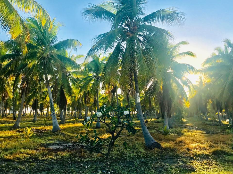 Coconut trees on Anaa Atoll