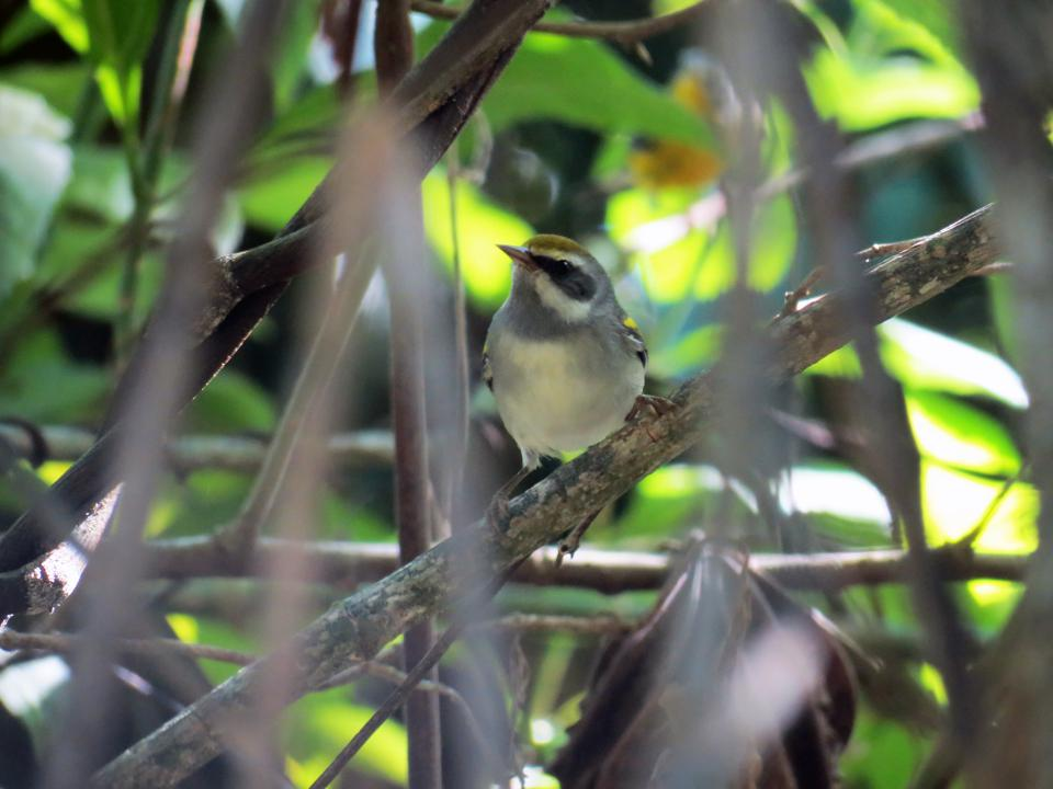 Golden_winged_Warbler_female1_by_Ruth_Bennett