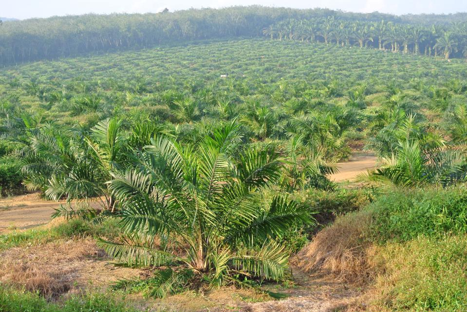 Palm oil is the most widely used vegetable oil on the planet.