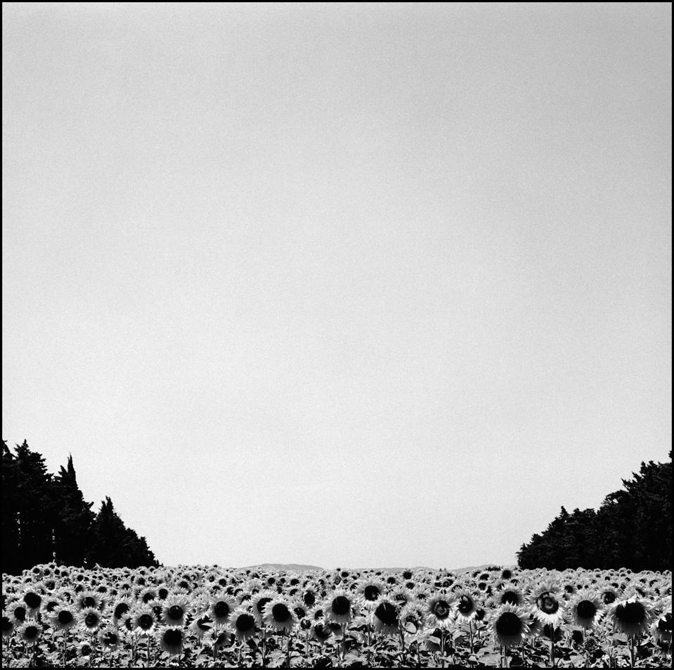 Lynn Johnson, Sunflowers.