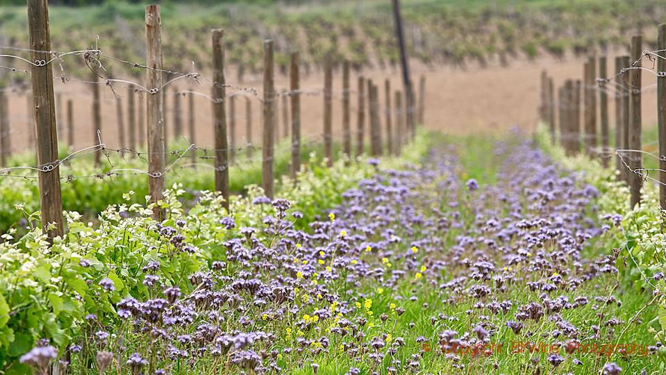 Spring flowers in the Domaine Gayda vineyards