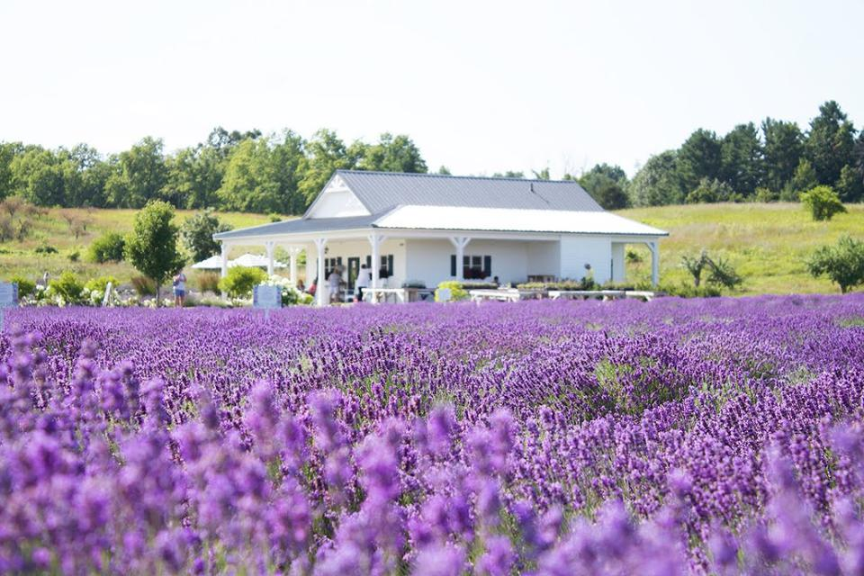 Lavender grows instead of grapes at the Secret Garden at Brys Estate.