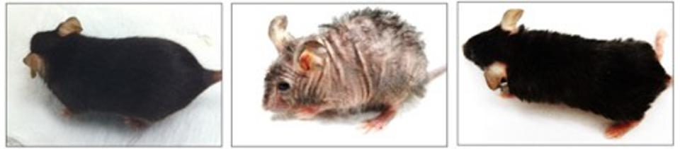 The mouse in the center photo shows aging-associated skin wrinkles and hair loss after two months of mitochondrial DNA depletion. That same mouse, right, shows reversal of wrinkles and hair loss one month later, after mitochondrial DNA replication was resumed. The mouse on the left is a normal control, for comparison.