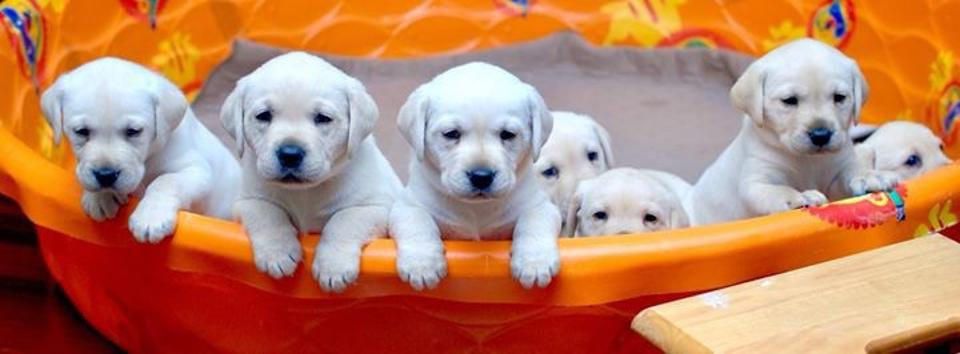 Puppies who will eventually be trained as therapy dogs through the Prison Puppy Program