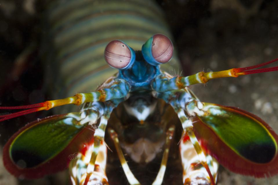 Mantis Shrimp, Odontodactylus scyllarus, Ambon, Moluccas, Indonesia