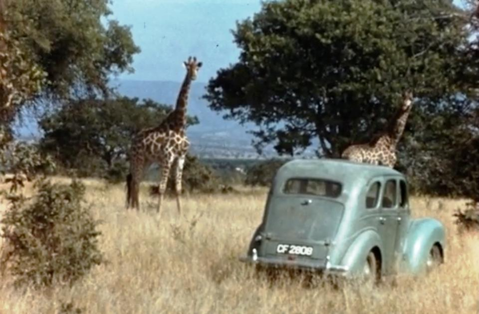 Anne Innis Dagg researching giraffes in South Africa