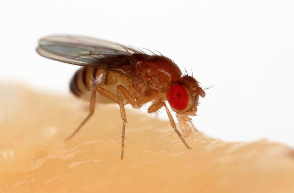 London Startup Enlists Fruit Flies In Fight Against Cancer