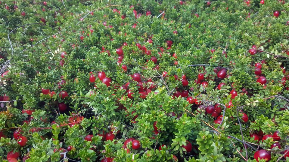 Pine Barrens Native Fruits, cranberries, cranberry harvest