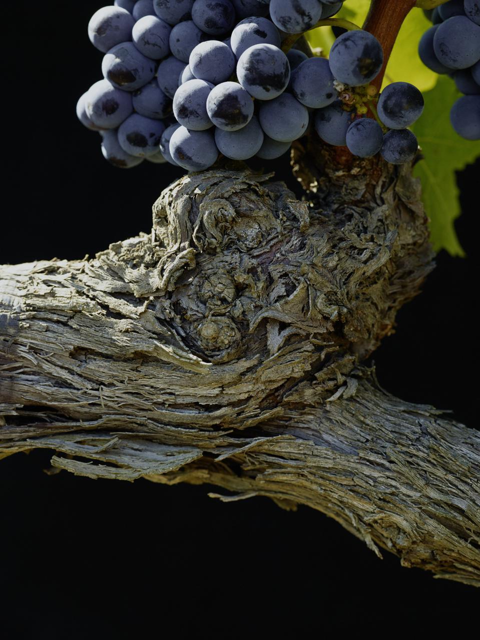 Masseto Merlot Grape Bunch