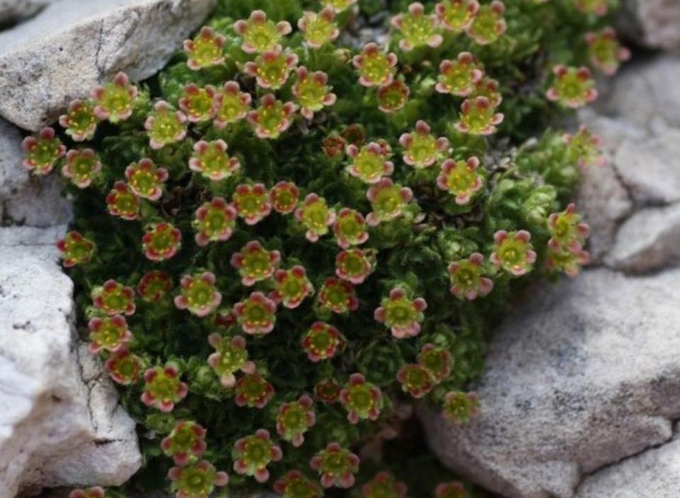Mountain plants with a very restricted habitat, like here Saxifraga facchinii, found only on debris in the Dolomites, face extinction due to climate change.