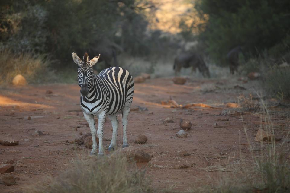 Zebra in Pilansberg reserve - photo credit Tom Raftery