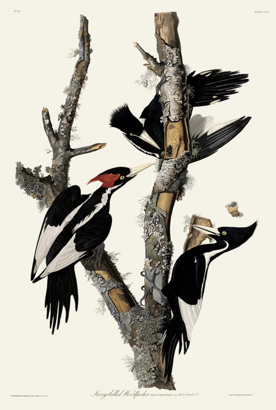 John James Audubon's 'Ivory-billed Woodpecker' from his 'Birds of America' book.