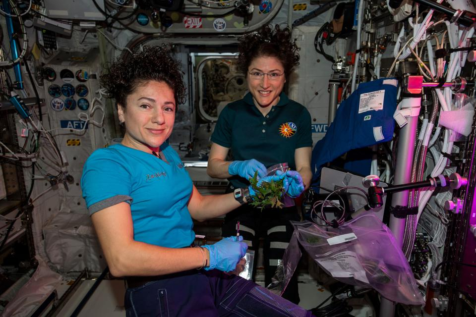 Harvesting salad in space