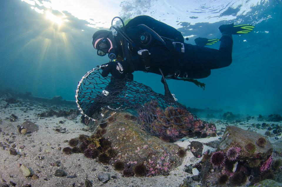A scuba diver collects purple urchins that will be ranched.