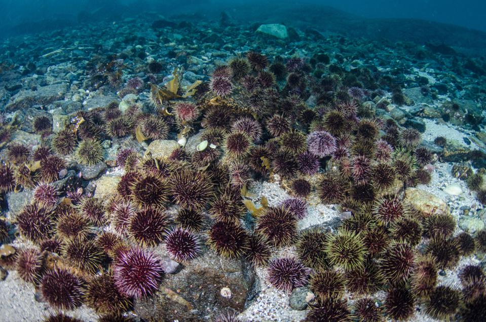 Purple urchins cover every square inch of what used to be a vibrant kelp forest.