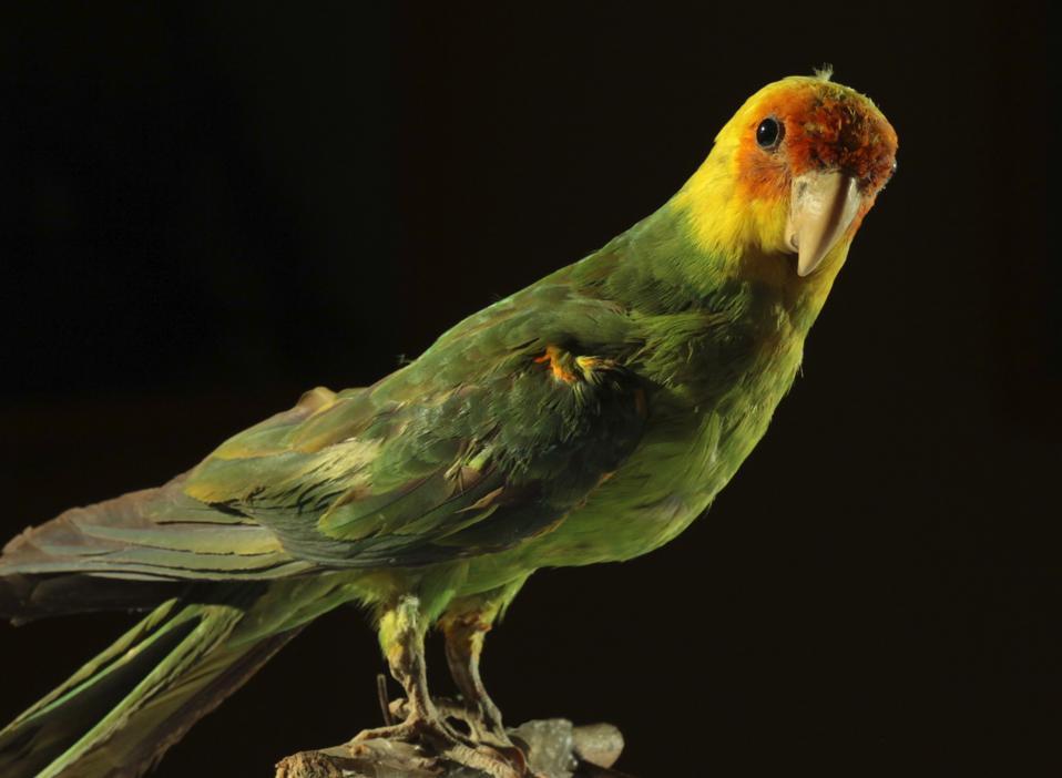 extinct Carolina parakeet Marc Durà