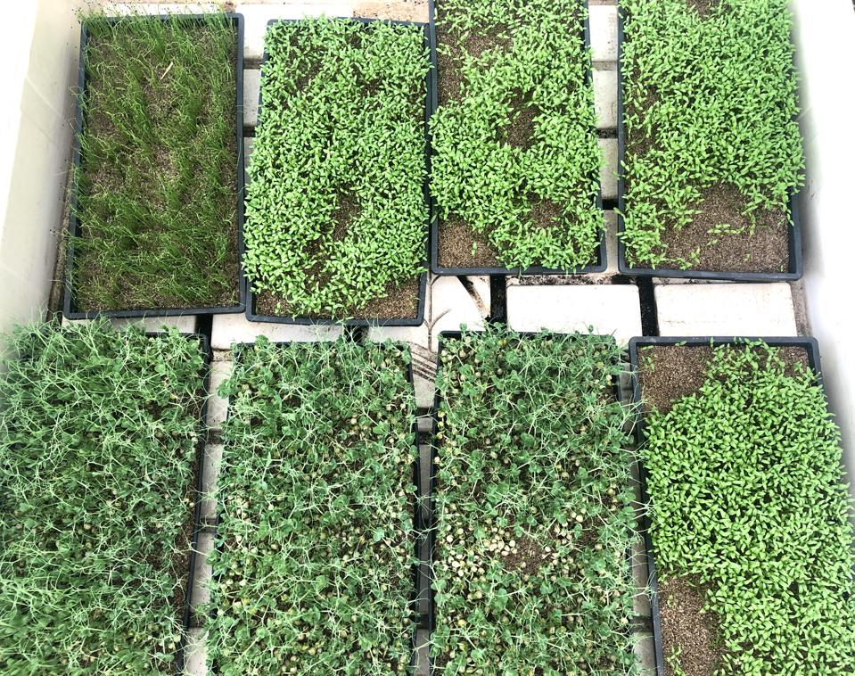 Baby Health in Winter De La Mesa Farms microgreens in Hawaii