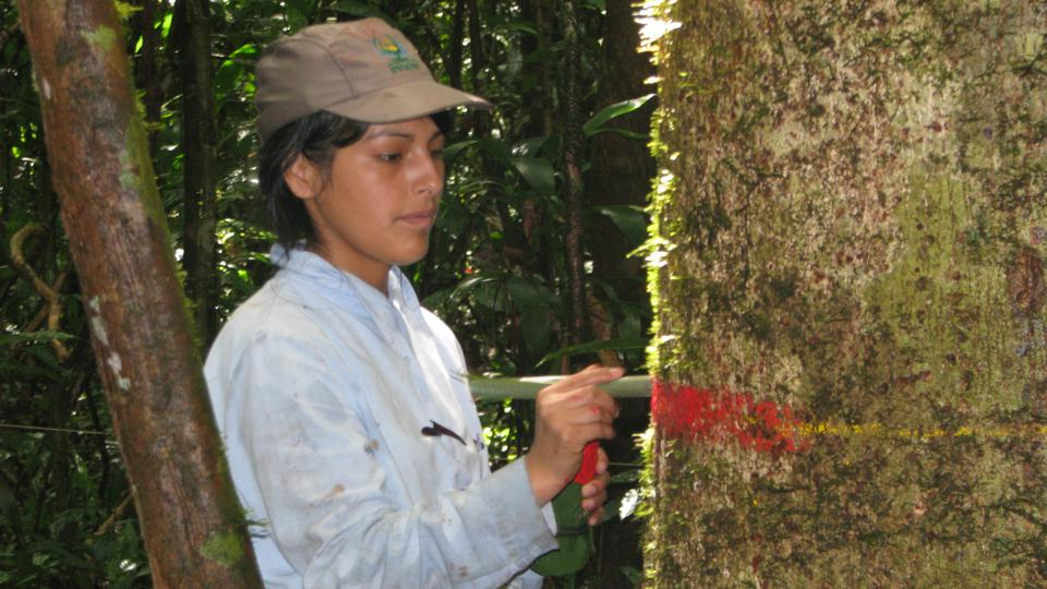 A ForestPlots collaborator marks a tree in a rainforest in Peru.