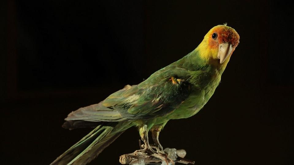 Color photo of Carolina parakeet specimen on a black background