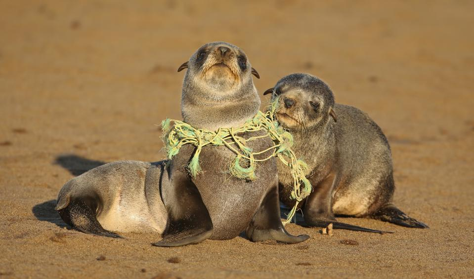 Sea lion entangled in fishing line