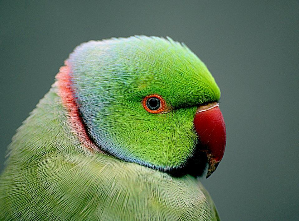 Indian_Ringneck_parrot._(Psittacula_krameri),_(9779826796)