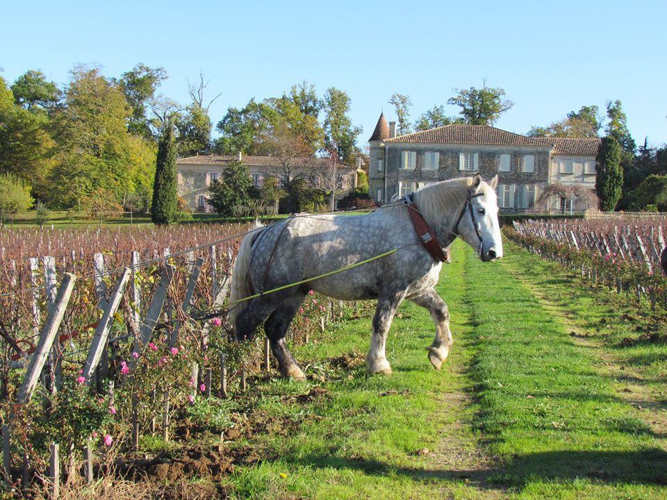 Horse Working the Vineyard at Château Troplong Mondot