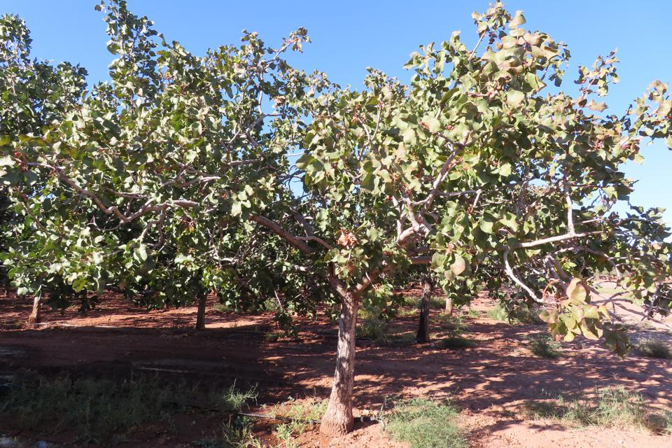 Pistachio tree at Eagle Ranch, Heart of the Desert