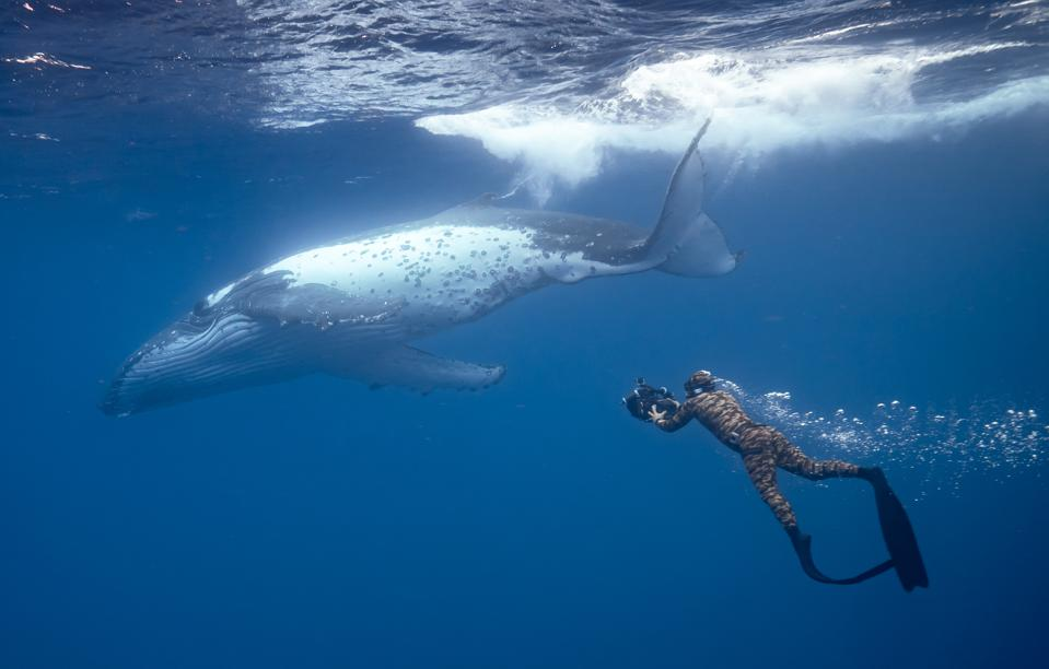 Diving with a humpback whale