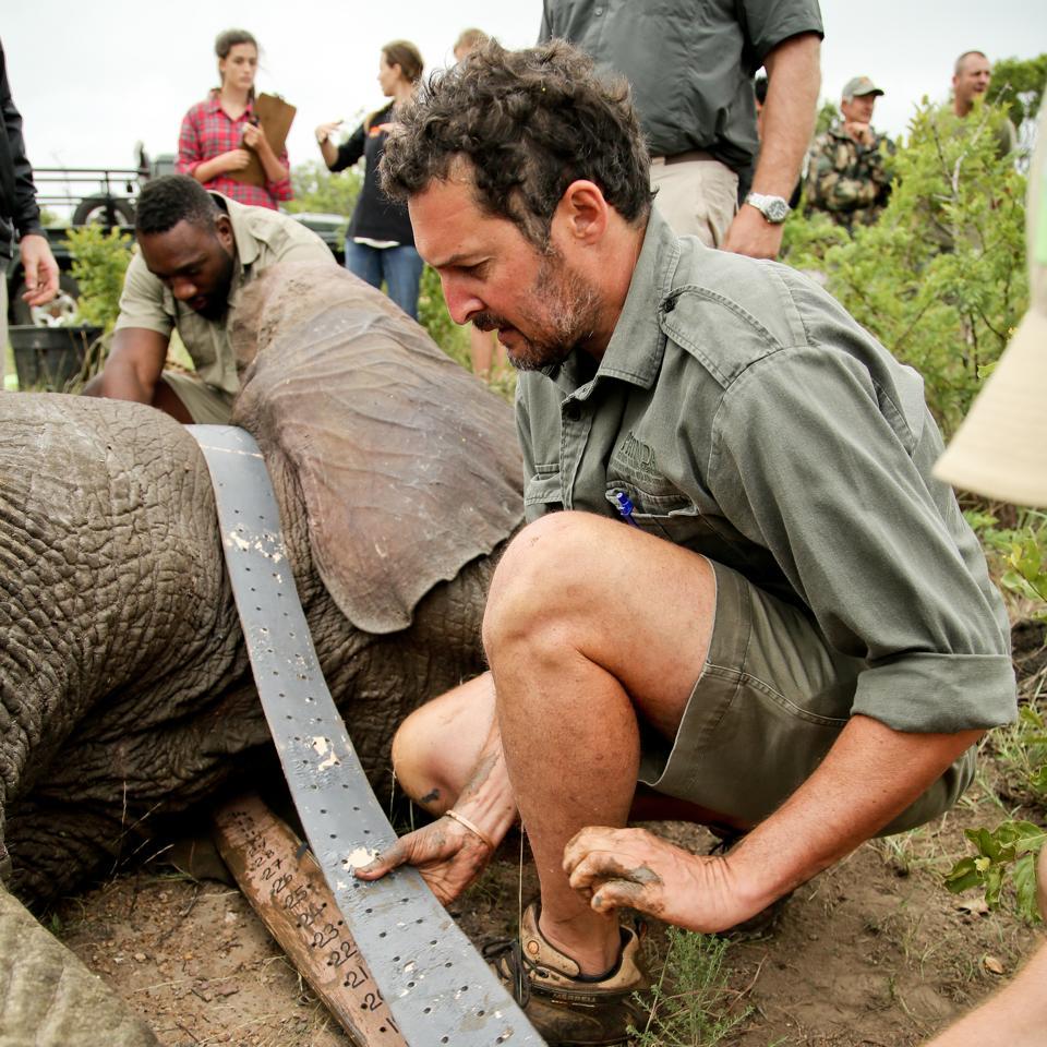 Simon Naylor, Phinda Reserve Manager, collars an elephant.