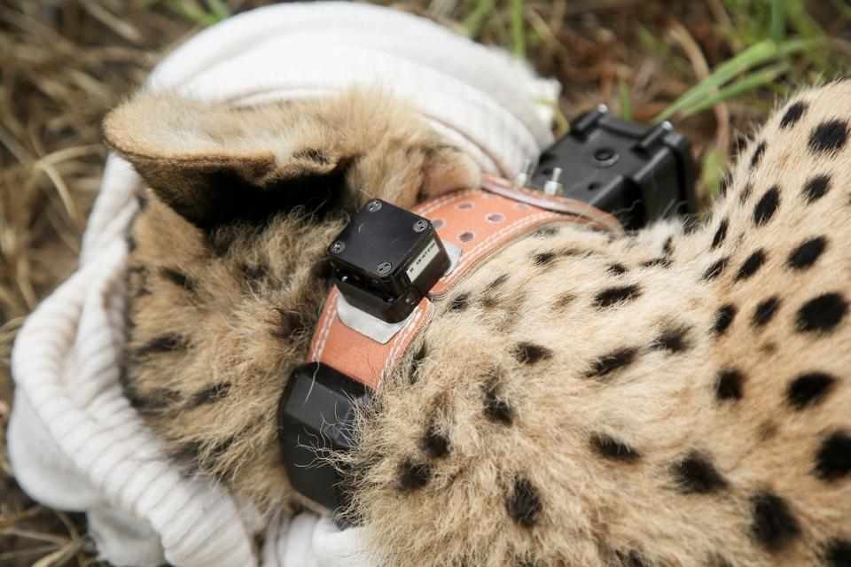 A cheetah tagged at andBeyond Phinda Private Game Reserve.