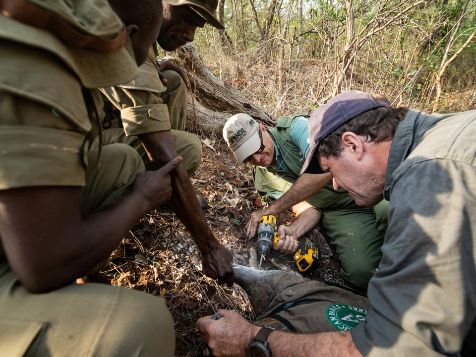 Insertion of tracking device into rhino's horn in Malawi's Liwonde National Park