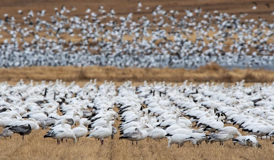 Snow Geese Festival, Colorado