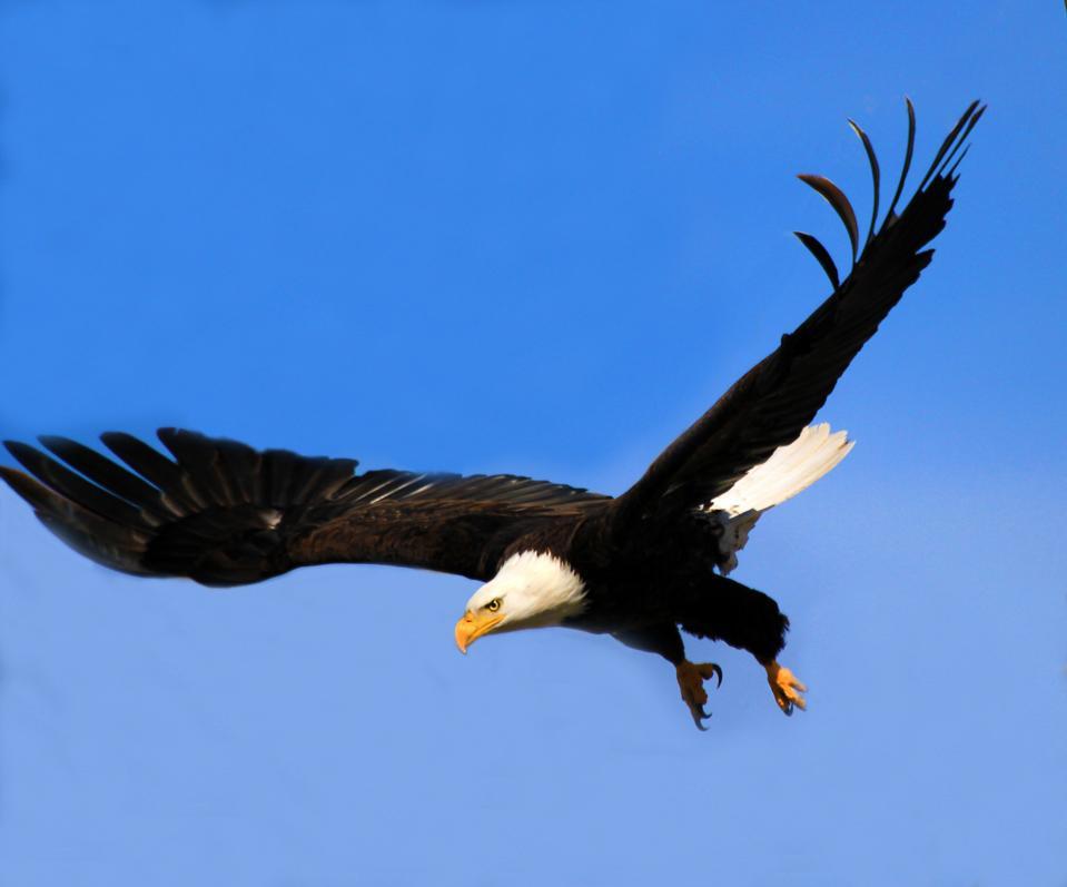 Soaring eagle, Klamath Basin