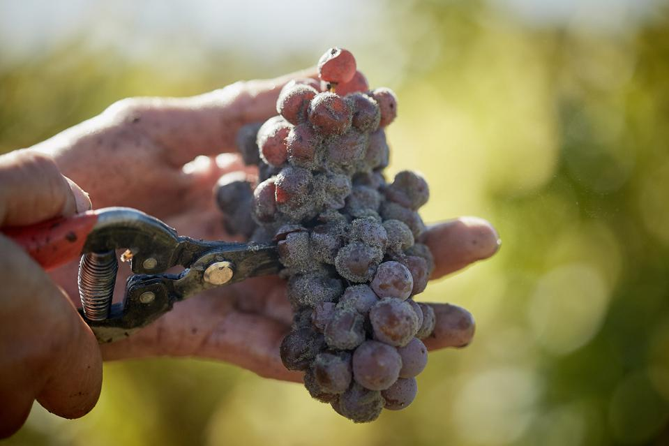 Botrytised grape with hands (c) Gunter Vincente (45)