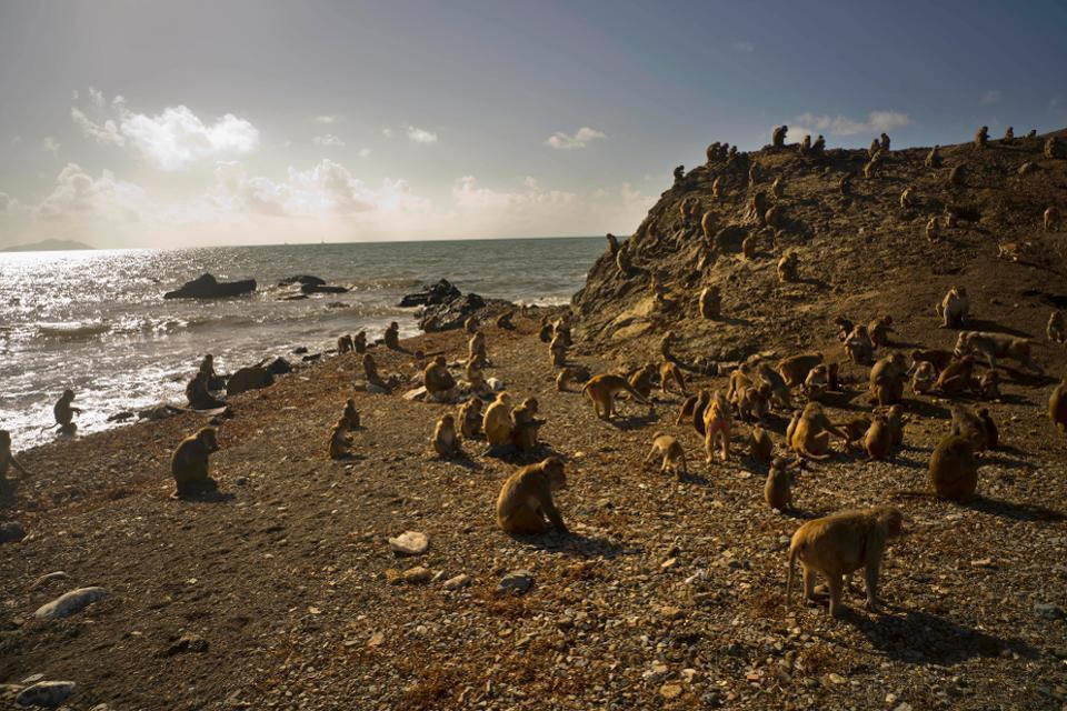 Rhesus Macaque monkeys on the island