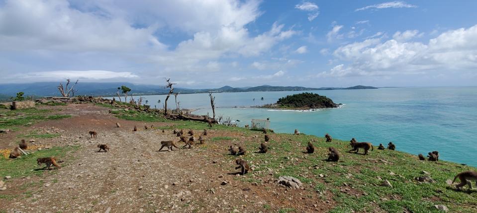 Rhesus Macaque monkeys on the island post hurricane