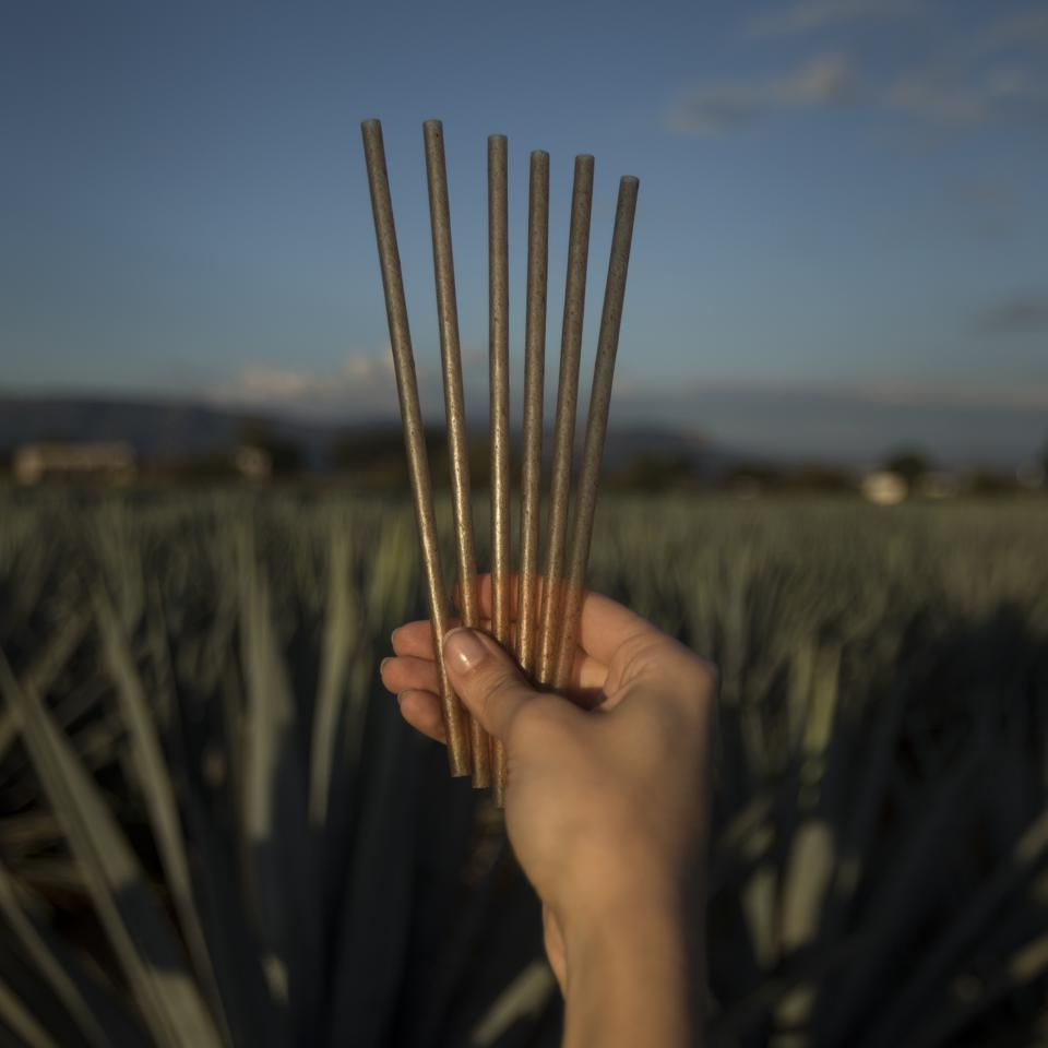 A hand holding agave-based straws in an agave field.