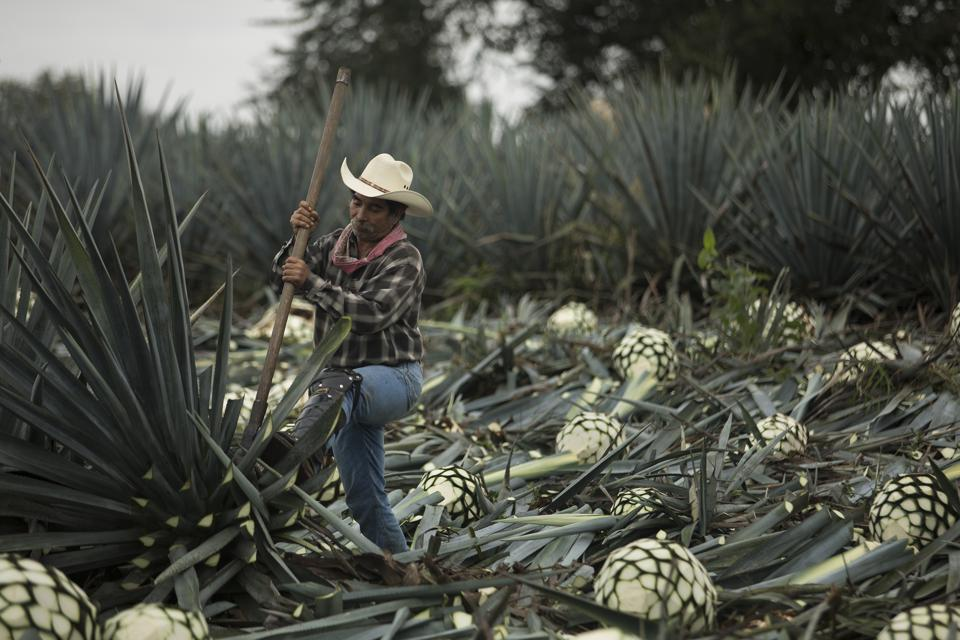 A man working in an agave field.