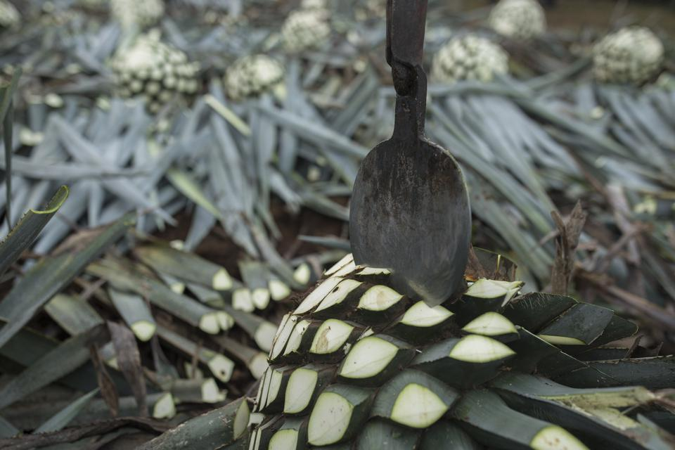 Agave plant being cut.