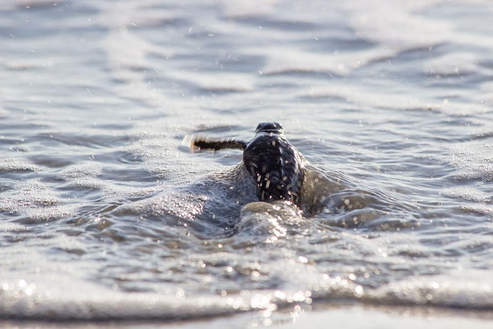 baby sea turtle entering the ocean